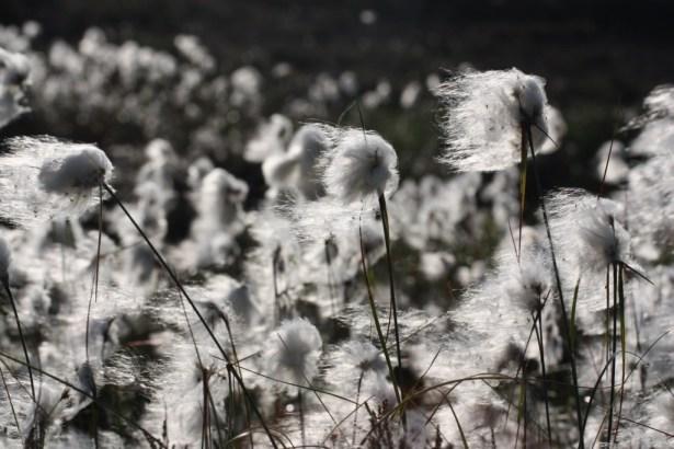Girley Bog Cotton
