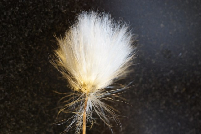 Eriophorum vaginatum or Hare's Tail Cottongrass