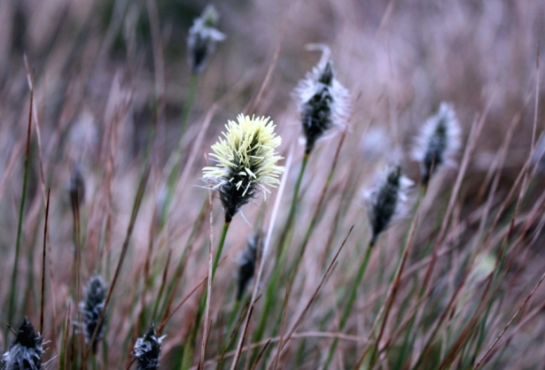 Hare's Tail Cottongrass in flower in February