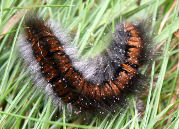 The black & orange colours of the Fox Moth caterpillar