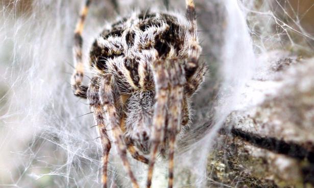 bog-spider-cropped-e1497207278713.jpg